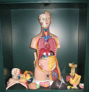 Acupuncture Organs