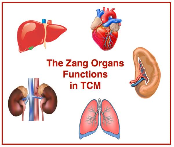 Zang-orgãos-TCM