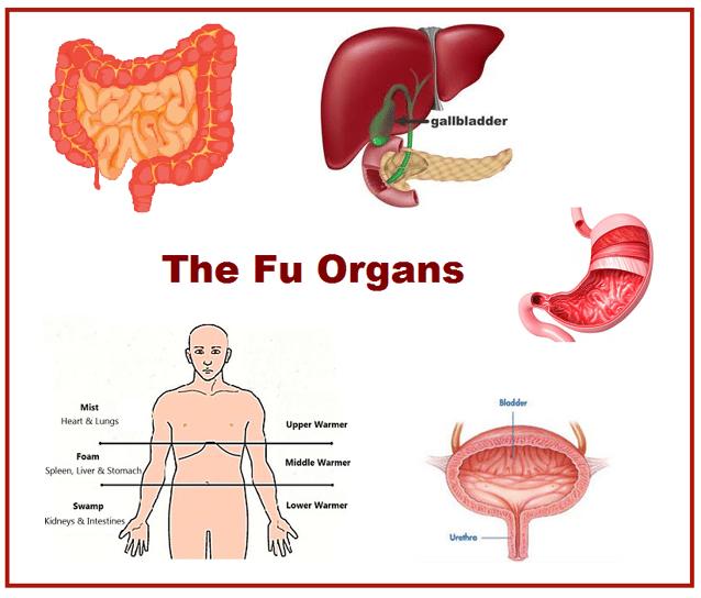 Zang-fu Organs